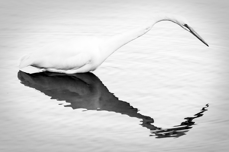 Great Egret monochrome