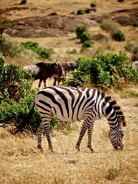 Savannens fineste dress? Sebra og gnu i Masai Mara, oktober 2006. *** The best suit on the savanna? A Zebra with wildebeest at Masai Mara, October 2006. (Foto: Geir)