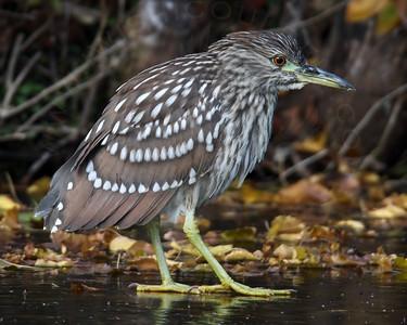 Heron, Black-Crowned Night