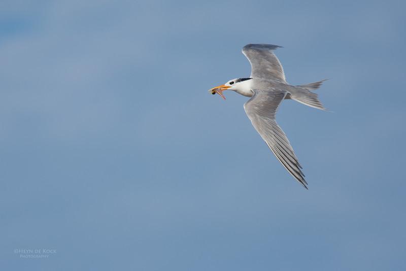Lesser Crested Tern, Lady Elliot Island, QLD, Dec 2015-2.jpg