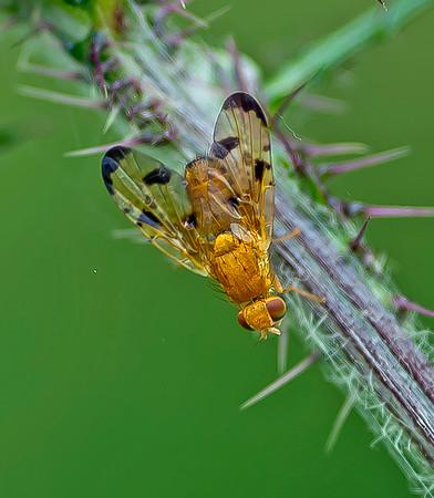 Palloptera quinuemaculata