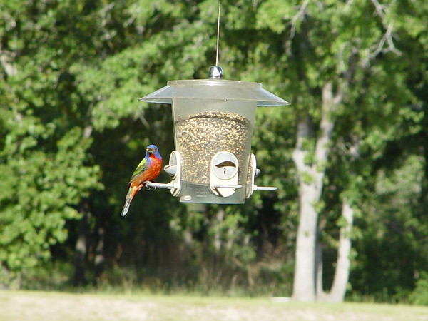 Backyard Birds
