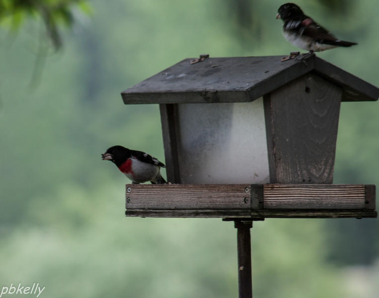 June 6.  A really bad image.  Just grabbed the camera when I saw the pair of Rose Breasted Grosbeaks.  Hope they come back for a better photo-op.  I love having them around.