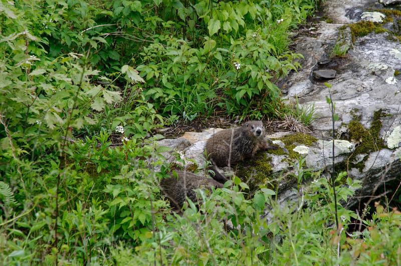 Ground Hogs - Pisgah Inn - Blue Ridge Parkway