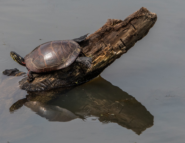 Eastern Painted Turtle Basking in the Sun