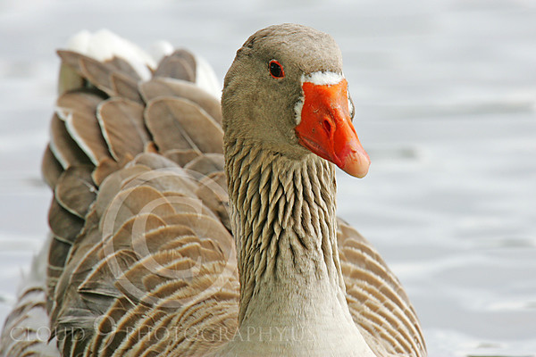 Bean Goose Wildlife Photography