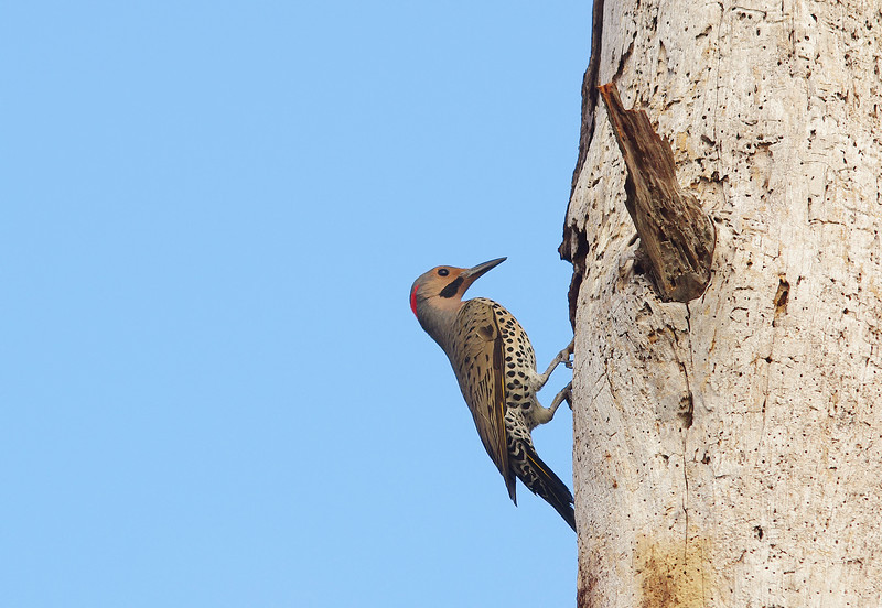 Northern Flicker Pine Glades Lake Everglades National Park