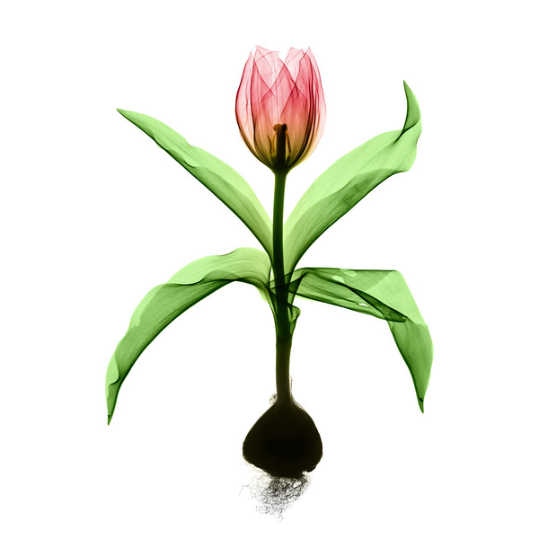 Tulip_Xray_001 V2.jpg