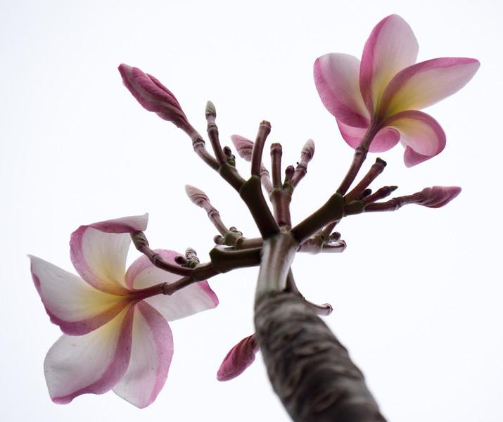 pink winter frangipani