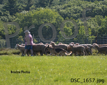 Saturday GSDC of CM Herding 8/9/14
