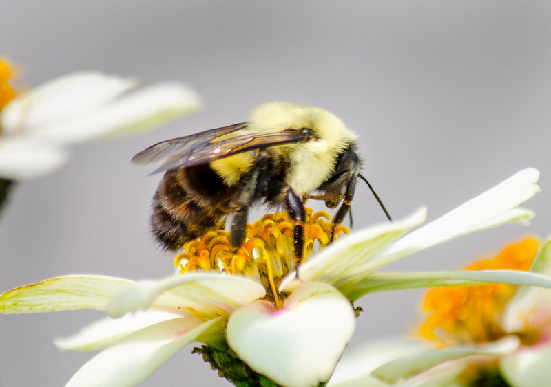 bumblebee (1 of 1) (3).jpg
