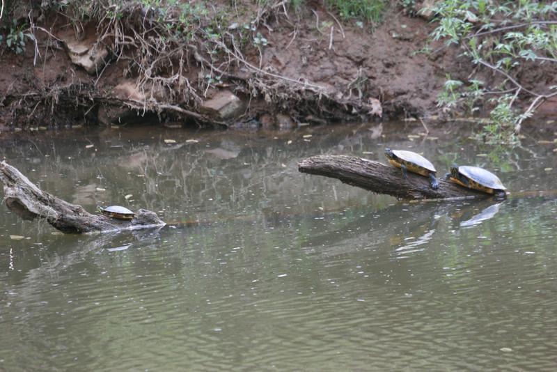 turtles on the Eno River -  Durham, NC