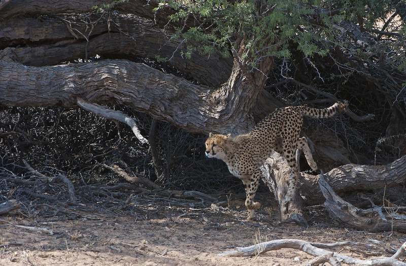 Cheetah hunting springbok, Kgaligadi Transfrontier Park, South Africa