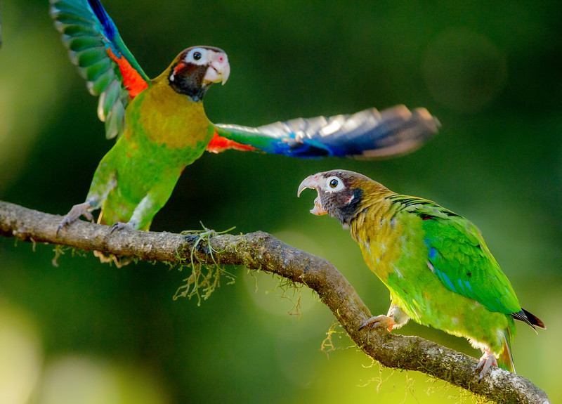 brown-hooded parrot (Pyrilia haematotis