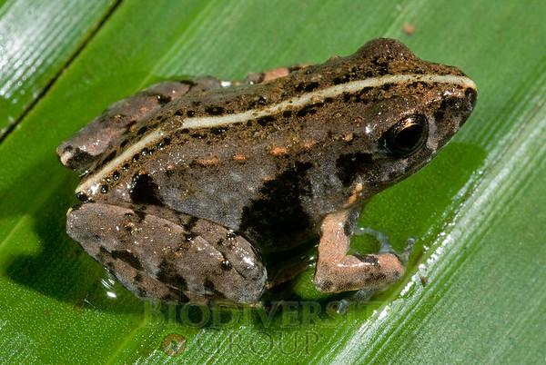 "Pristimantis sp. nov. ""Barycholos"""