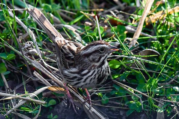 5-22-18 Song Sparrow
