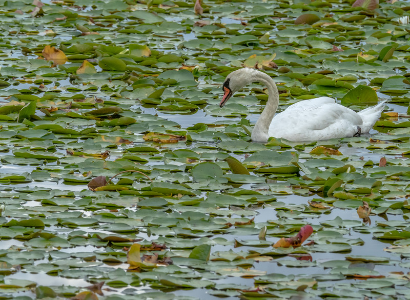 116 Aug 18 Swan on Bass Lake blowing Rock-1.jpg