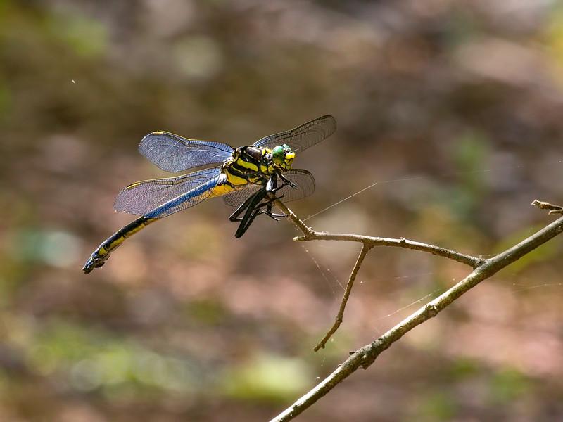 Dragonhunter (Hegenius brevistylus), Female