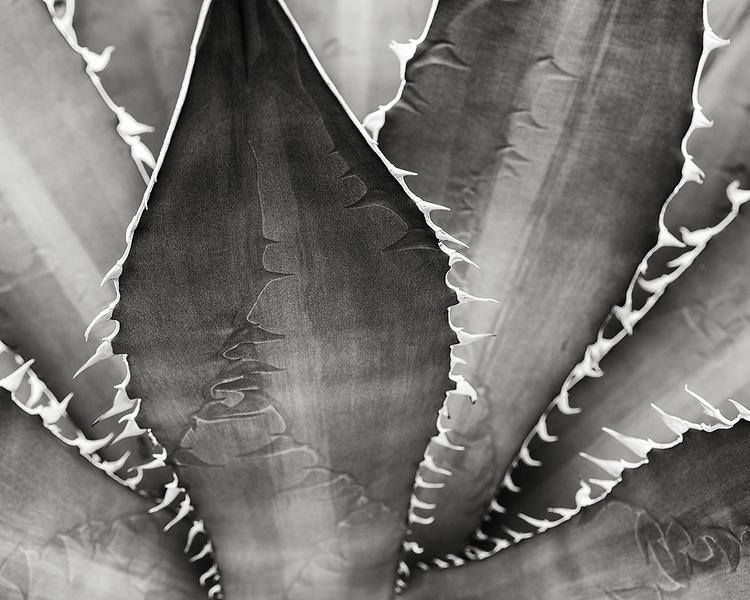 agave teeth