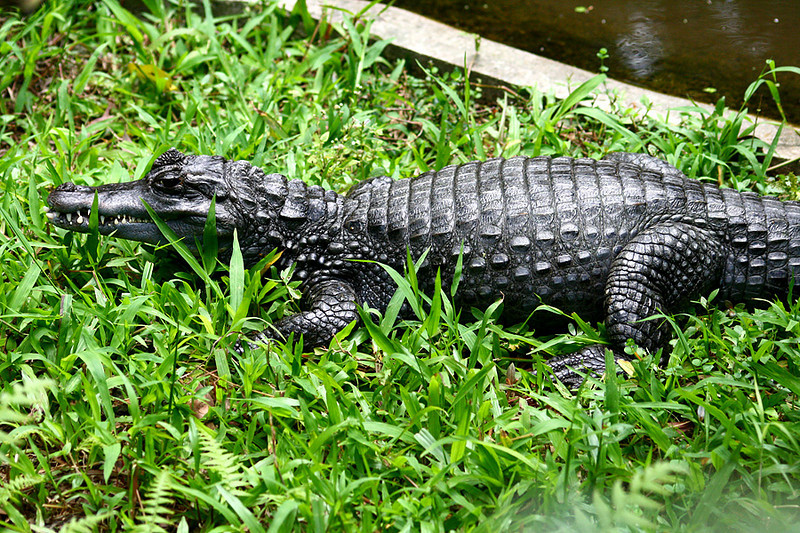 Kadoorie Farm, Crocodile