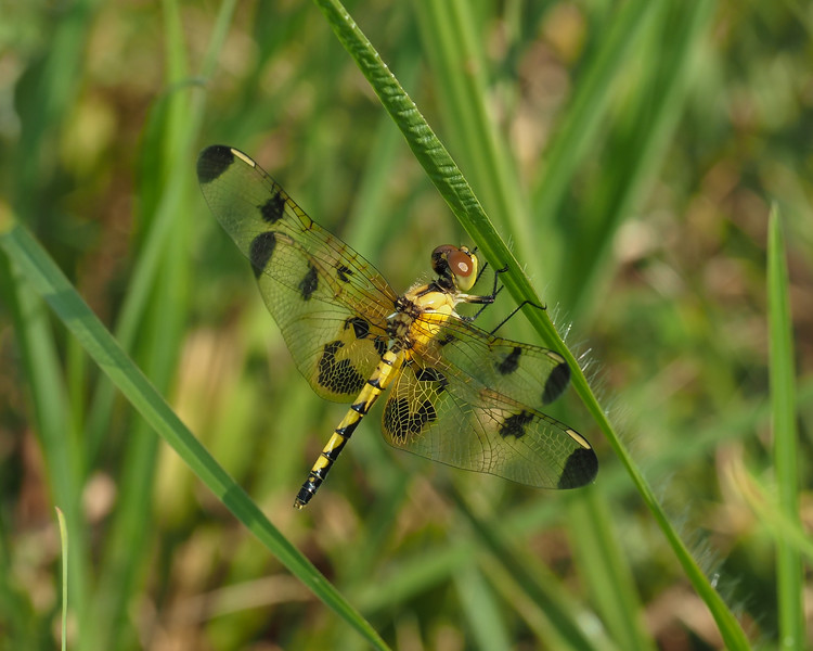 Calico Pennant, female