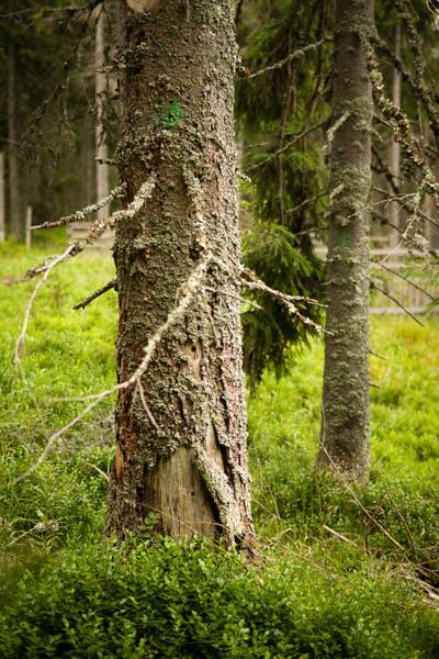 Stará označení stromů skutečně napadlých kůrovcem.