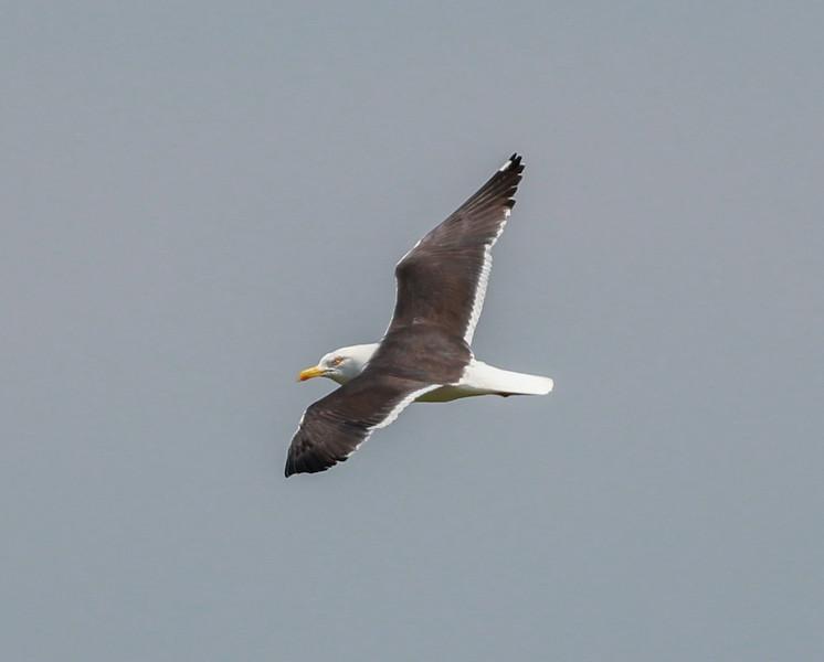 Lesser Black-backed Gull Netherlands 2014 06 26-1.JPG