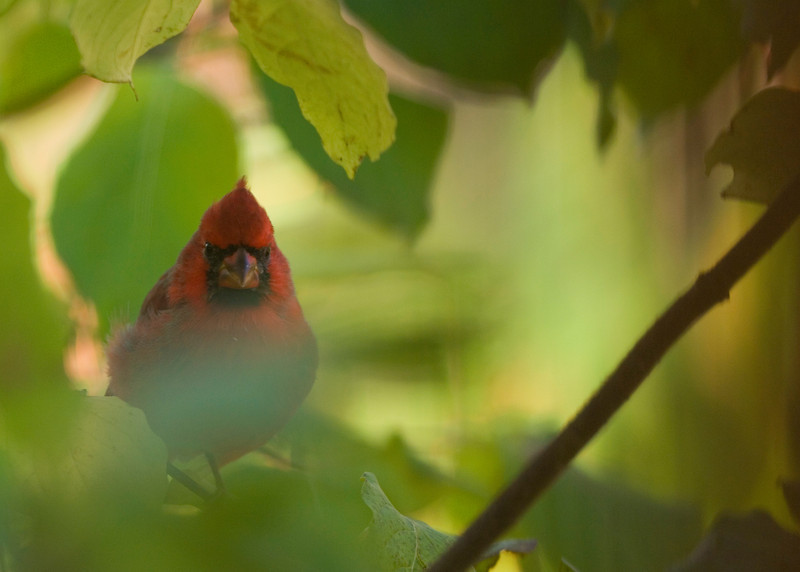 cardinal_4802.jpg