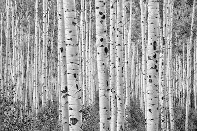 """""""Among The Aspens"""" (photography) by John Diephouse"""