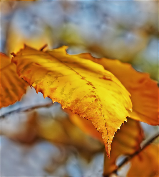 Beech Leaf- brighter