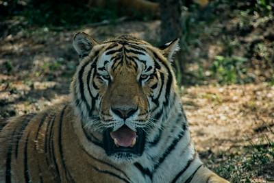 Siberian Tiger, Harbin, China 2018