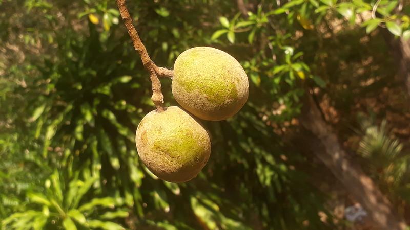 3 and 4 mukhi Rudrakshas in a fruits at same branch