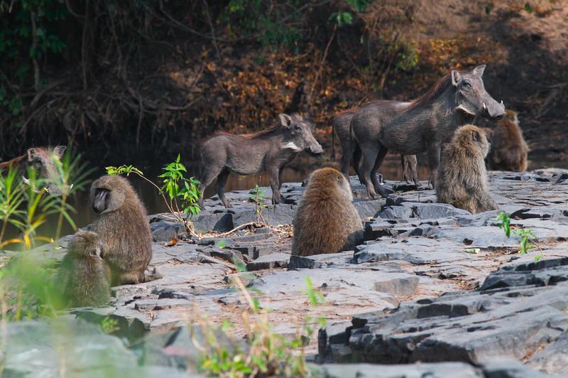 Warthog Baboon  Serengetee NP Tanzania  2014 07 08-4.JPG.JPG