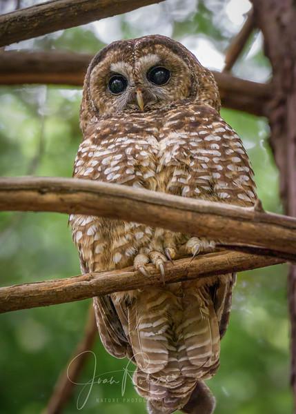 Spotted Owl, San Rafael CA