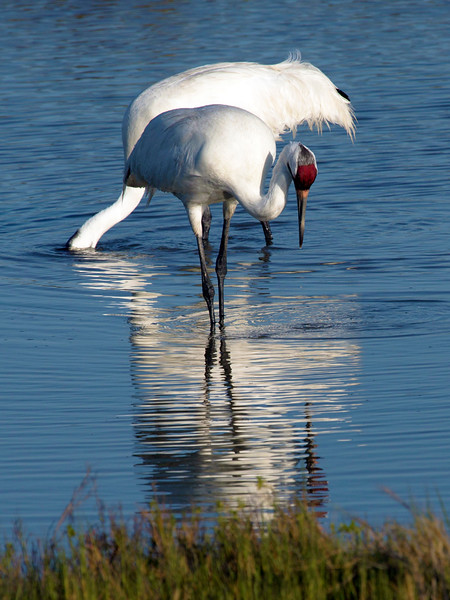 Whooping cranes feeding, Aransas Natl. Wildlife Refuge