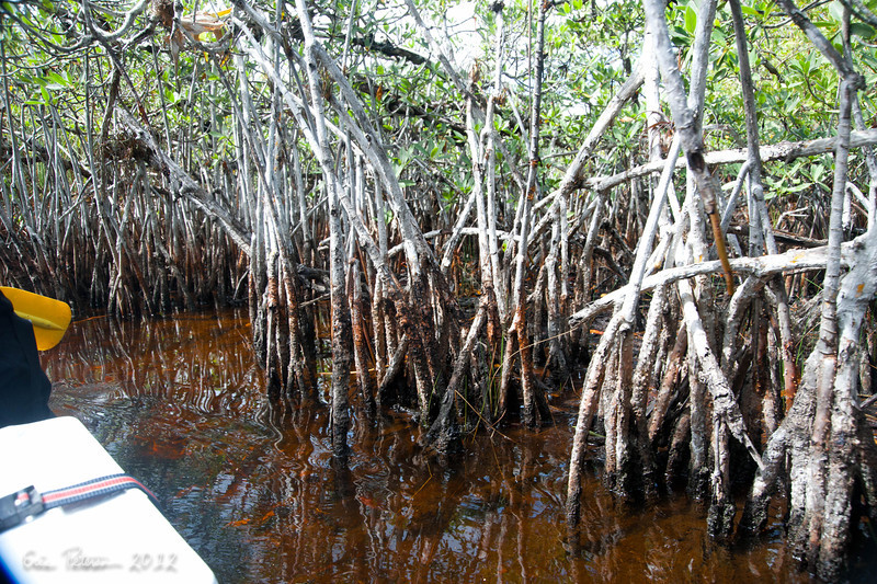 Mangroves are Thick