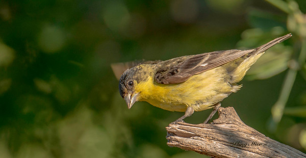Lesser Goldfinch_DWL8629.jpg