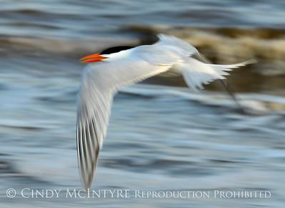 Terns - Various