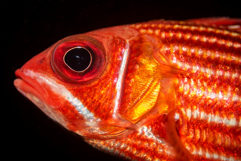 Fish are abundant in the Atlantic Ocean near Cape Verde. Red squirrelfish, Furna Rosa, São Vicente.   #underwaterphotography  #uwphotography #scuba #underwater #duiken #marinelife #diving #wreckdiving #Nikon #Nauticam #Duikspotter #traveltips #onderwatersport #underwaterphotographer