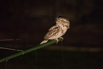 Tawny Frogmouth (Podargus strigoides) on the old style clothes hoist in the back yard