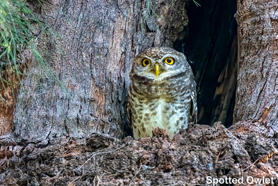 Spotted Owlet, Thailand