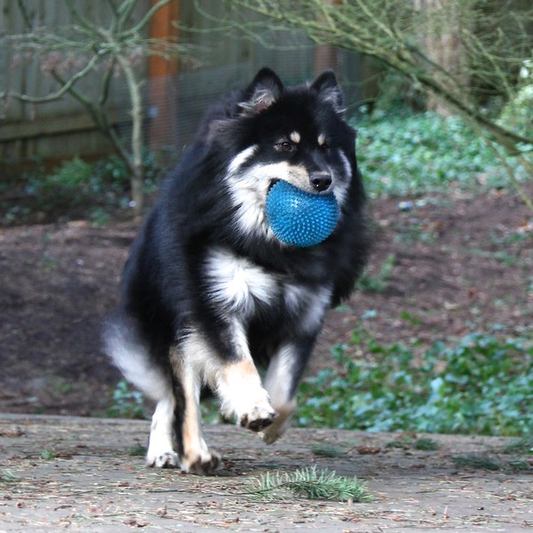 """Onni's coat is getting long enough now that it """"moves"""" when he's bounding.  Wow I see his dad  Usko here a lot!!"""
