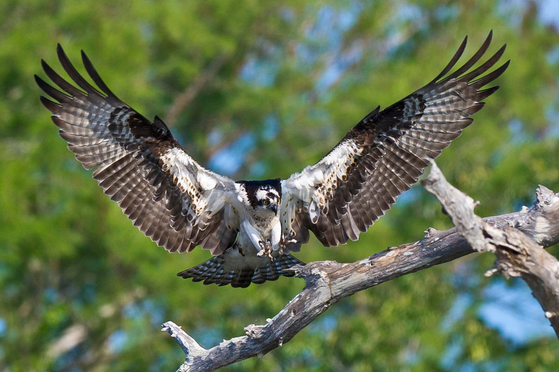 Osprey prepares to land Blue Cypress Lake Vero Beach, Florida © 2013
