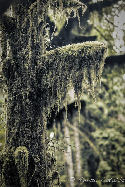 Hoh rainforest2tif.jpg