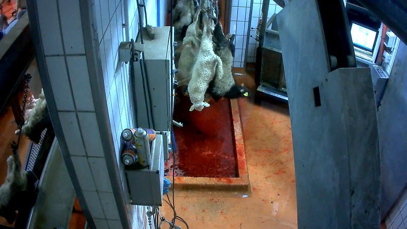 agneaux-chaine-abattage-abattoir-mauleon-05.jpg