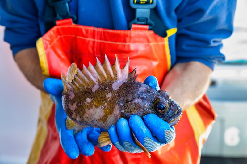 Gopher Rockfish