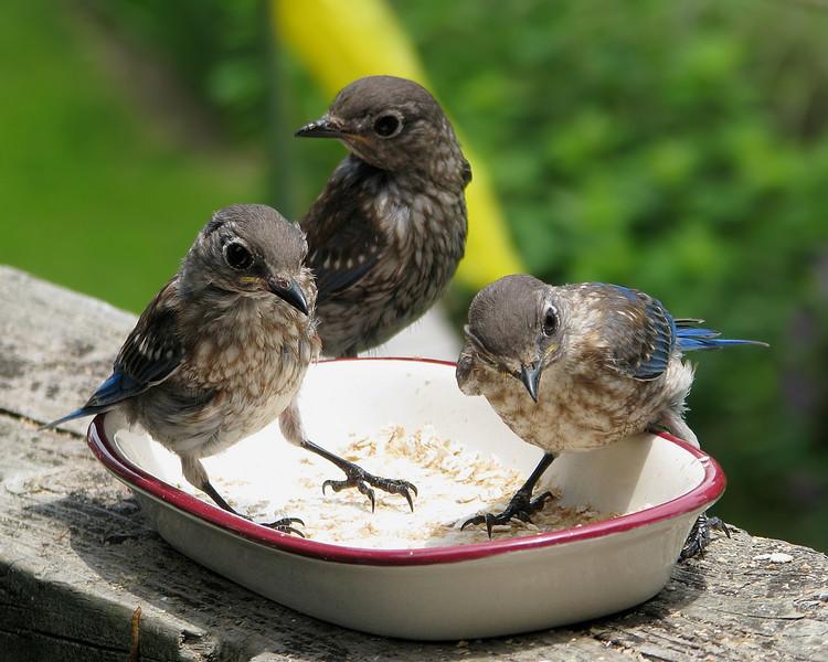 bluebird_fledgling_5190.jpg