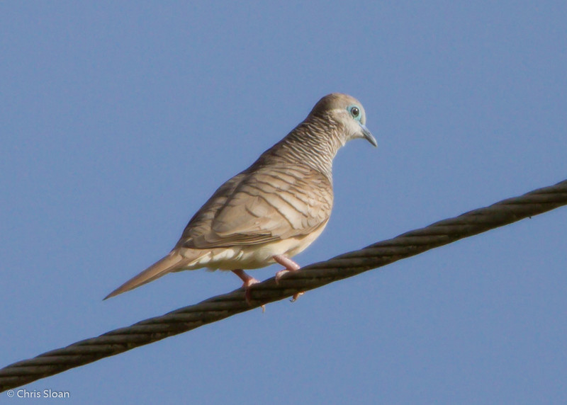 Peaceful Dove at Pacific Adventist University, Port Moresby, Papua New Guinea (09-29-2013) 009-438.jpg