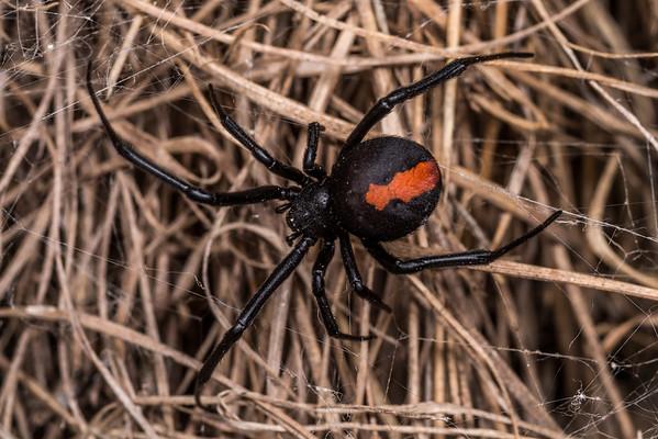 Latrodectus hasselti - redback spider