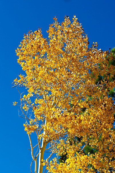 Eastern Sierra fall color
